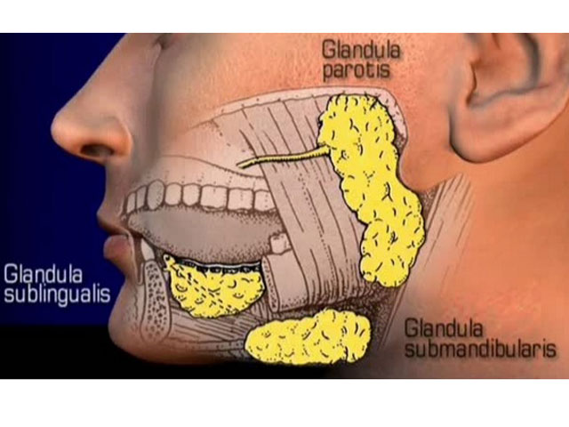 Speicheldrüse - Glandula salivaria || Med-koM